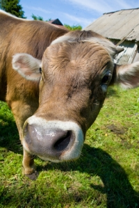 Image of a bull